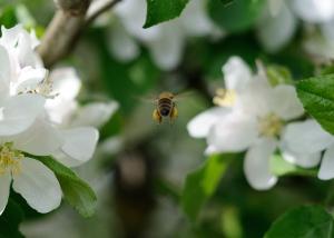 Es gibt sie noch - die fleissigen Bienen.